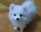 哪里有卖银狐犬银狐犬多少钱 支持全国发货