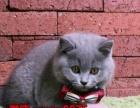 出售纯种英短-蓝白-蓝猫-渐层欢迎上门看猫