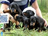 出售纯种杜宾犬猛犬疫苗驱虫已做齐全包健康签协议