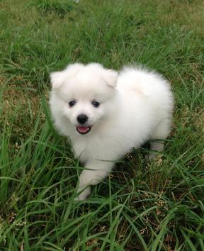出售纯种银狐幼犬 健康有保障 售后签协议 高品质