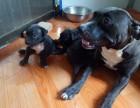 比特幼犬领养,纯血比特幼犬公母均有
