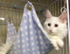 纯种山东临清狮子猫金吉拉波斯猫长毛猫蓝眼纯白母猫