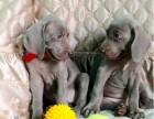 魏玛犬 德国短毛指示猎犬 打猎好狗 都市爱犬