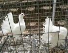 佳木斯哪里有有卖观赏鸽的淑女鸽价格凤尾鸽价格