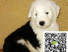 h赛级双纯血统白头通背古牧幼犬销售免疫齐全包