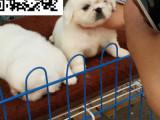 哪里有卖京巴犬 京巴多少钱 京巴图片