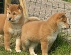 长期繁殖双血统赛级柴犬 各类纯种名犬 签协议