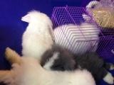 垂耳兔各种宠物兔批发零售