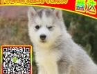 犬舍出售 蝴蝶犬犬 专业繁殖 健康签协议 可送货上门