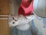 美短折耳加白小奶猫