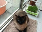 泰国纯种暹罗猫母