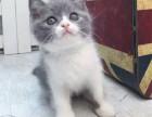 郑州哪里出售纯种英国蓝白短毛猫纯种英国蓝白短毛猫多少钱一只
