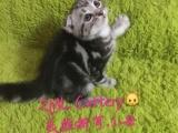 美国短毛猫(折米莱猫舍出品)