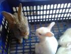 呼市出售家兔
