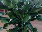 天津市内六区绿植租赁花卉租赁办公室绿植租摆公司免费送货