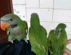 亚历山大鹦鹉 和尚鹦鹉 鹩哥 金太阳鹦鹉