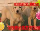 七夕送好礼犬舍促销中纯种拉布拉多幼犬 神犬小七拉多