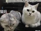 自家养英短银渐层折耳立耳弟弟妹妹猫咪