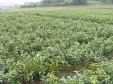 湖南哪里有大果红花油茶嫁接苗 嫁接的红花油茶树苗价格