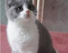 自家养殖蓝白 蓝猫 银渐层 加菲猫 金吉拉 欢迎挑