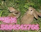 2017下半年专家预测獭兔行情山东獭兔最新价格