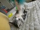 沧州市区个人转让美短虎班加白小猫