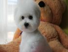 哪里有卖比熊的 比熊多少钱一只 好一点的比熊多少钱一只