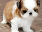 唐山 出售2到4个月西施犬 包健康纯种!