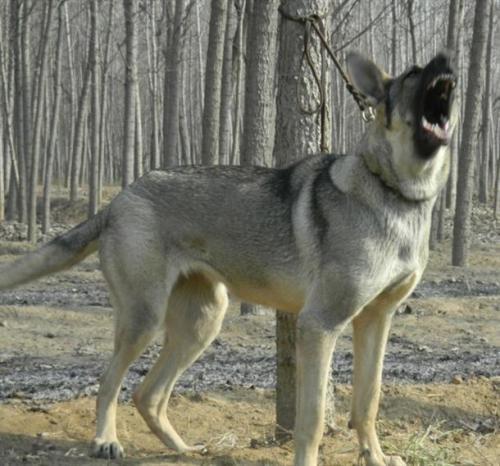 本场出售纯种狼青犬 狼青幼犬 品质好 血统保证