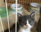 英短毛猫折耳立耳1300 猫咪价格以标题为准