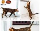 孟加拉豹猫种猫展示 不出售