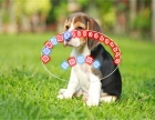 出售纯种比格犬 米格鲁犬 包健康包纯种 可实地挑选