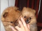 可托运送货 家养一窝哈多利球形博美幼犬出售非常漂亮