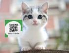 柳州哪里有美短出售 柳州美短价格 柳州宠物猫转让出售