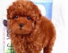 精品泰迪犬 保纯保健康 疫苗和驱虫均已做完 签协议