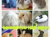 宠物兔批发 垂耳兔 狮子兔 猫猫兔 安哥拉兔 小黄兔 黑兔