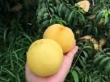 金華蘭溪市桃樹苗供應服務