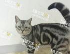 喵王国名猫舍折耳 英短 美短 加菲幼猫出售,种公借配