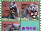 高端布偶猫繁殖中心 多只布偶宝宝待售 包健康bb9
