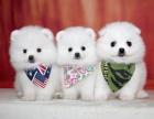 北京出售 博美幼犬 纯种健康保障 疫苗驱虫已做 签协议
