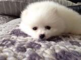 全实物拍摄 博美幼犬出售 价格实惠 健康质保