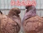 黑鱼鳞鸽 斗嘴鸽 球鸽 短尾鸽 宝石信鸽