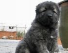 高加索犬幼犬,纯俄系 高大威猛、纯种健康