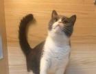 【安琪猫舍】英短蓝猫,蓝白,银渐层,虎斑等幼猫出售