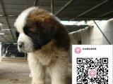 哪里有卖圣伯纳犬 出售纯种圣伯纳犬犬舍在哪里