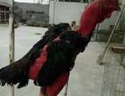 南京纯种越南鬼子鸡多少钱一只