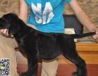 淄博犬舍长期出售-纯种拉布拉多 各类世界名犬 终身包纯种