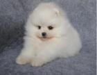 重庆本地上门低价出售 纯种博美犬 当面检查 包健康送用品