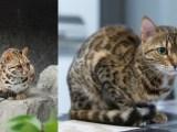 自家繁殖 孟加拉豹猫-纯正血统出售-请来电
