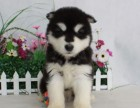 精品宠物繁殖基地长期出售阿拉斯加幼犬 保证品质健康